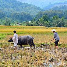 Farming rice with the Lao rice farmers