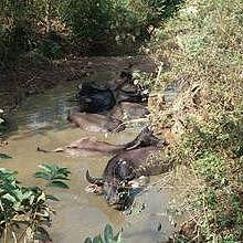 Local water buffalo bathing in the river around